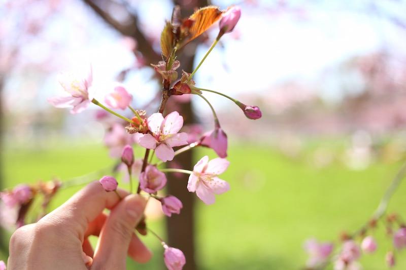 Homevialaura-Roihuvuoren-kirsikkapuisto_0090