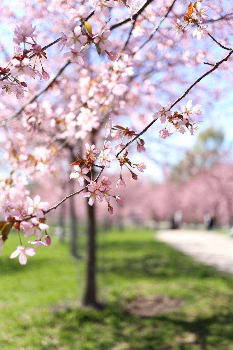 Homevialaura-Roihuvuoren-kirsikkapuisto_0146