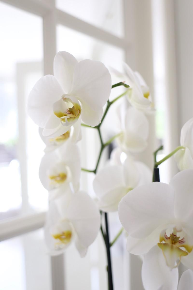 Homevialaura, valkoinen orkidea